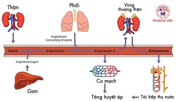 chức năng của enzyme renin với cơ thể